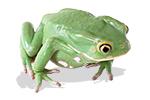 Australia Green Tree Frog - Living Things