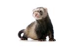 Ferret - Living Things