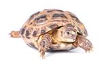 Horsefield Tortoise - Living Things