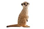 Meerkat - Living Things