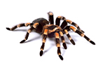 Mexican Red Kneed Tarantula- Living Things
